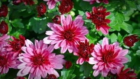 chrysanthemums-1614746_1920