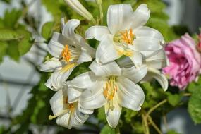 lilies-1479094_1920