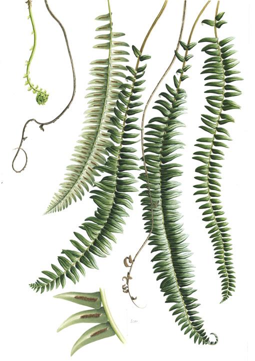 blechnumarcuatum