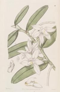 Sarcochilus Calcéolus